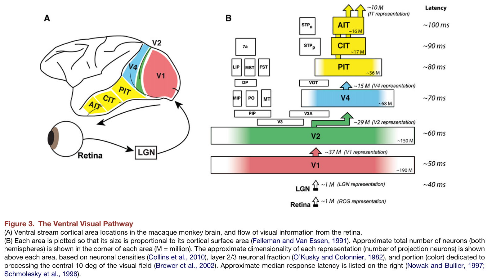 0a40b7c3e14 Synaptic transmission takes 1-2ms; dendritic propagation ?, axonal  propagation ~1ms (e.g. pyramidal antidromic activation latency 1.2-1.3ms),  so each layer ...